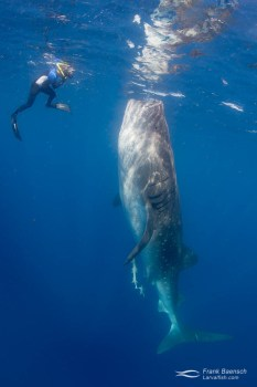 Snorkeler photographs whale shark botella - the vertical feeding posture.