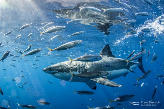 A white shark (Carcharodon carcharias) chases bait among mackeral scad.
