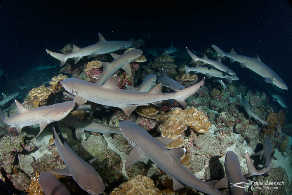 Whitetip reef sharks (Triaenodon obesus) hunt  small reef fish hiding in the coral at nght. Cocos Island. Costa Rica.