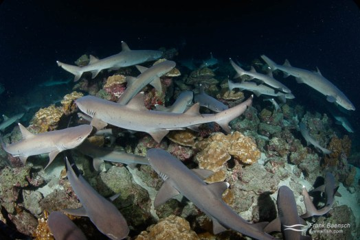 Whitetip reef sharks (Triaenodon obesus) hunt  small reef fish hiding in the coral at nght. Cocos Island.
