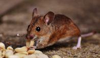 rodent eating food