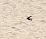 Cape Cod Swallow