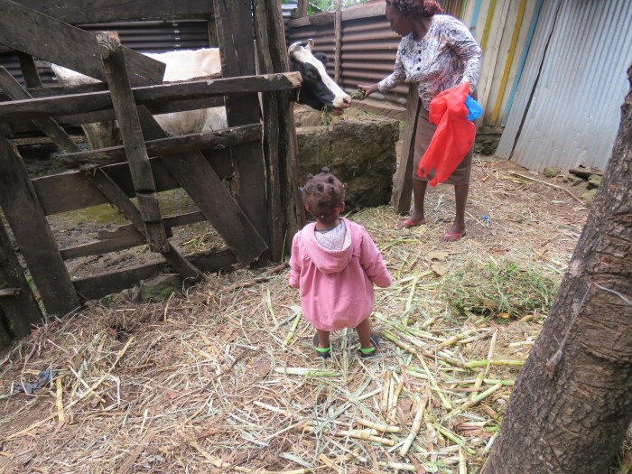 Calla in the village feeding cattle