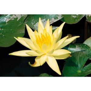 Seerose »Sulphurea«