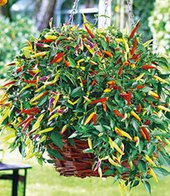 Hänge-Chili ´Volante&reg, Hot Red´,2 Pflanzen