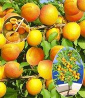 Aprikose ´Compacta Super Compact&reg,´,1 Pflanze