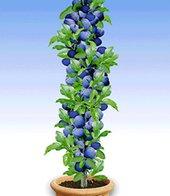 Säulen-Pflaume ´Black Amber´,1 Pflanze