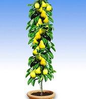 Säulen-Birne ´Doyenné du Comice´,1 Pflanze