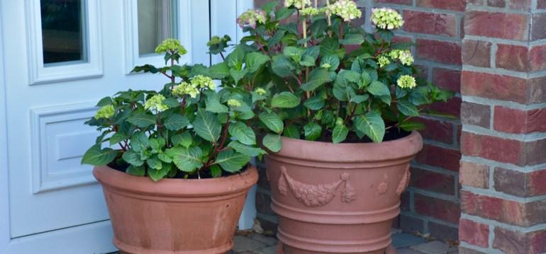 Tontöpfe - Hortensien - Franks kleiner Garten