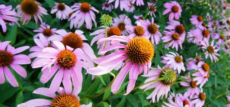 Langblühende Stauden - Echinacea - Titel - Franks kleiner Garten