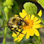 Eastern Bumblebee on flower