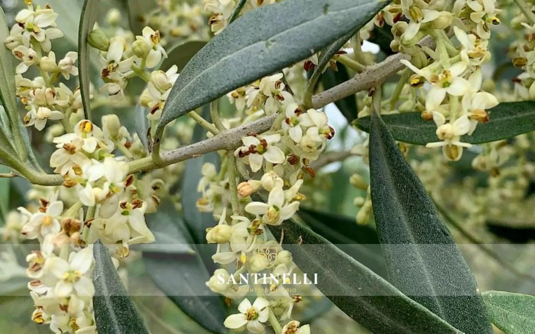 La fioritura dell'olivo