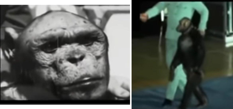 Origen del hombre. Chimpance erguido caminando a dos patas