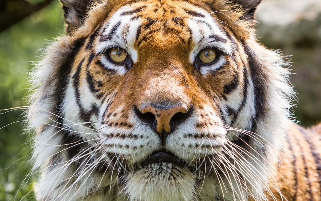 Photography day at The Big Cat Sanctuary