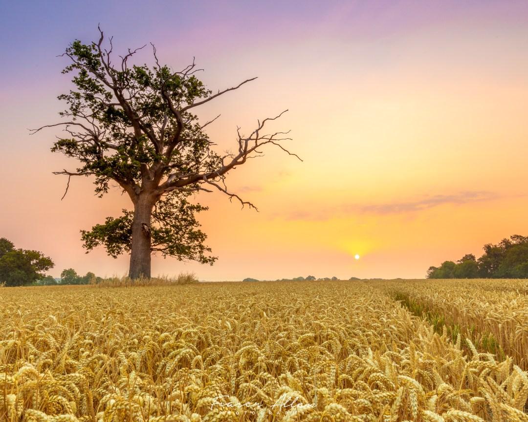 Cranbrook cornfield at dawn