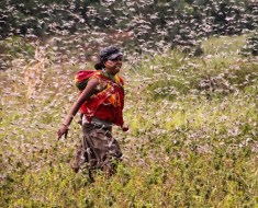 Locusts in Madagascar