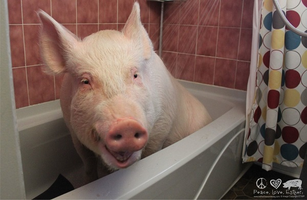 Esther the pig in shower