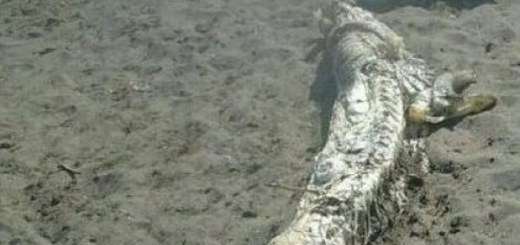 13 foot sea creature found in Spain