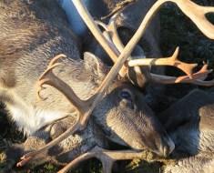 reindeer dead