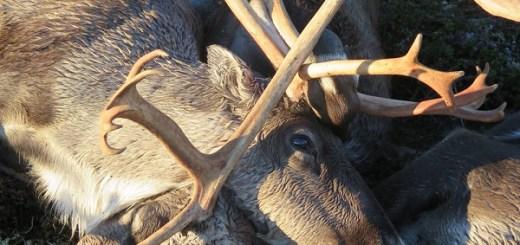 Lightening strike kills 323 reindeer in Norway