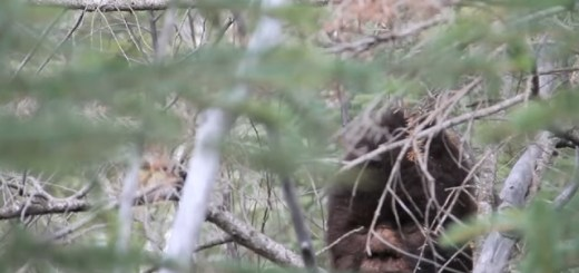 Sasquatch spotted and recorded by Todd Standing