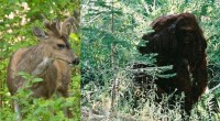 Hunter get's deer stolen by Bigfoot in Hobart Bay, Alaska