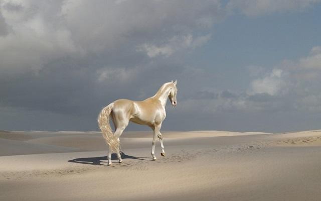 Akhal-Teke at sands
