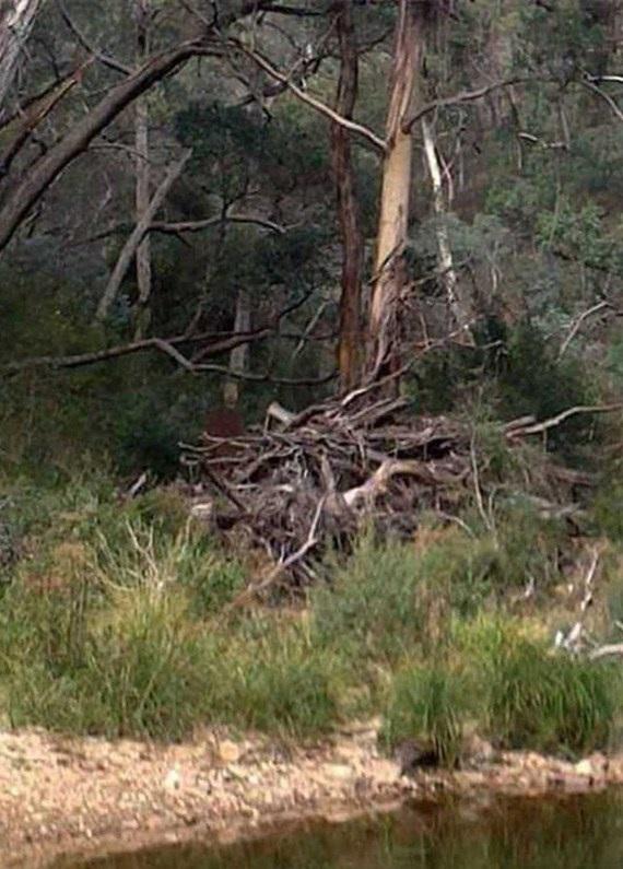 Figure in the underbrush of Australia