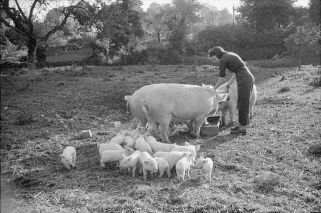 Bennington Triangle Pig Feeding