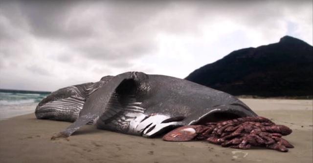 Half eaten whale