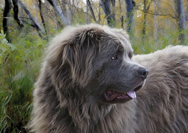 Newfoundland Dog Florida