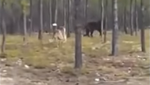 Black Timber Wolf chases mans dog into forest