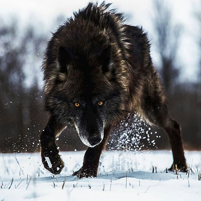 Black Timber Wolf in Wild