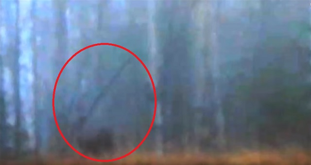 Bigfoot Recorded Tossing Tree In The Wild