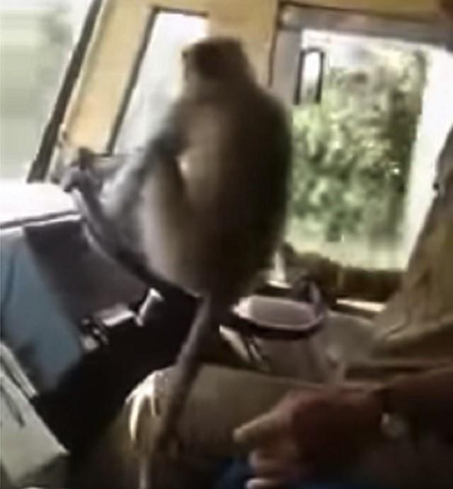 Monkey on wheel India bus