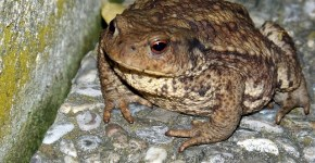 Bufo toads Florida invasion