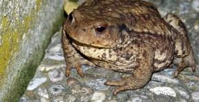 Bufo toads Florida invasion
