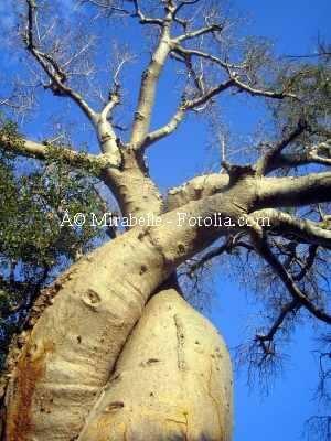 Français : Baobab amoureux.