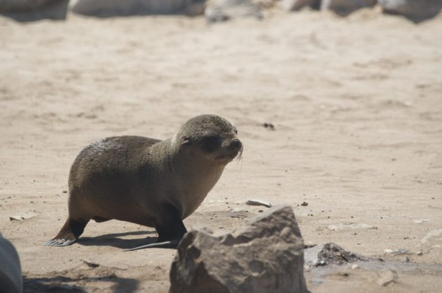 Watch seals at the Skeleton Coast - Cute things to do in Namibia