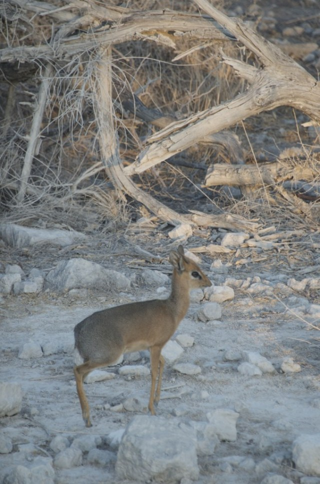 Damara Dik dik in Etosha National Park