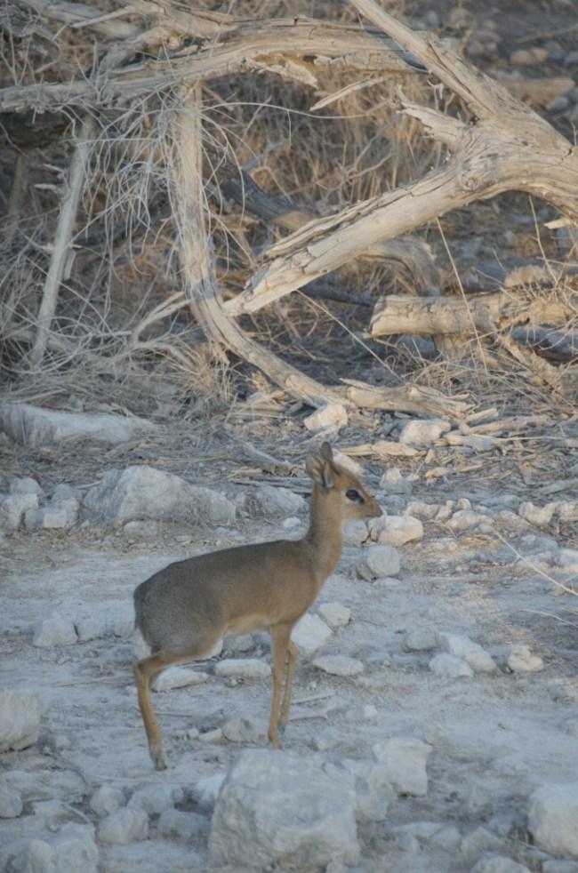 Damara Dik dik in Etosha National Park