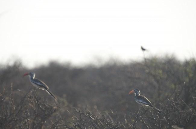 Geelsnaveltok / Southern yellow billed hornbill in Etosha National Park