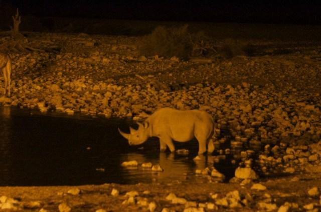 Neushoorn in Etosha National Park