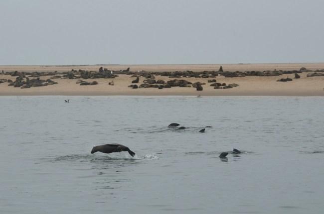 Zeeleeuwen spotten in Walvisbaai, Namibië