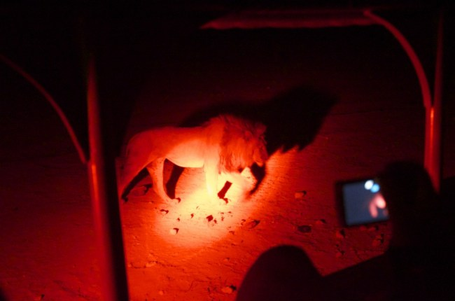 Namibië: nightdrive met leeuw