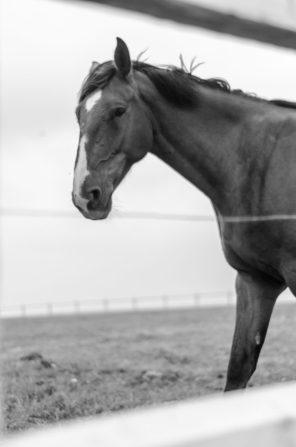 Horse - Vlaamse Ardennen