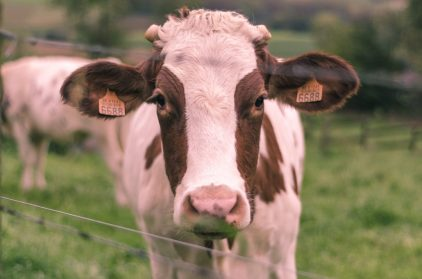 WandelWalhalla-Cow