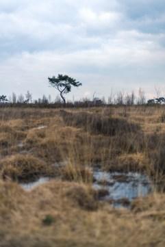 lonely tree in the Kalmthoutse heide