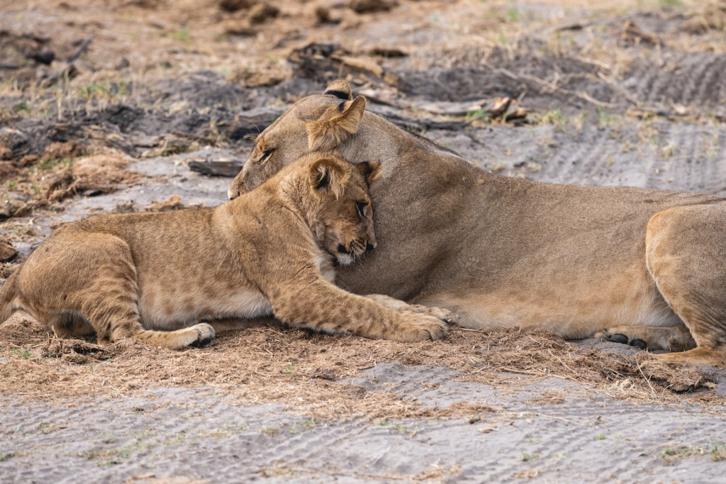 A young cub cuddling with a lioness