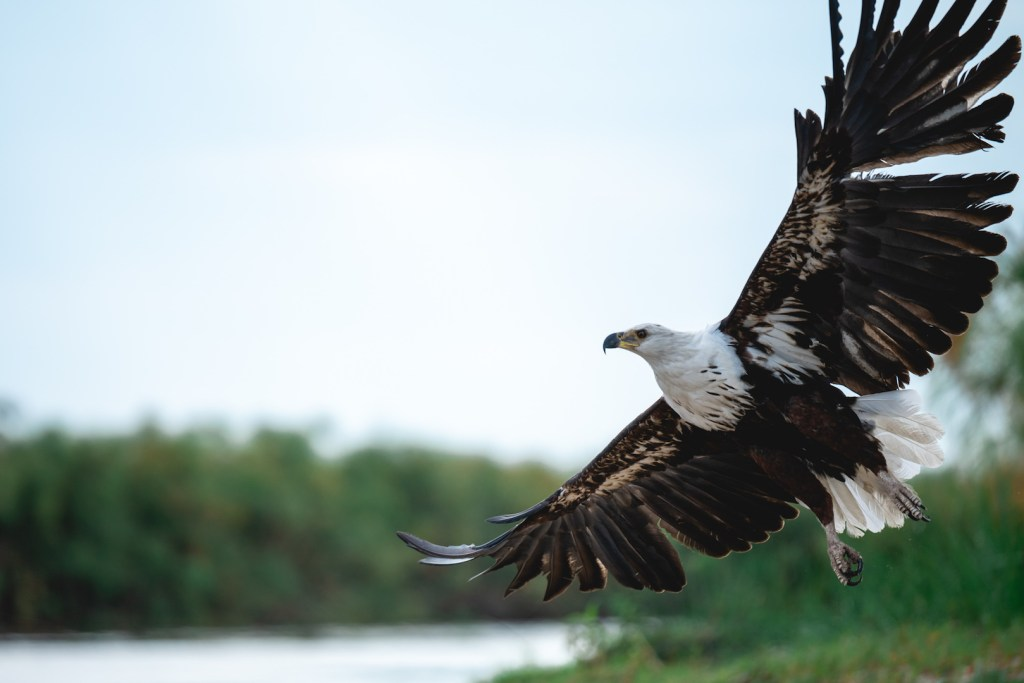 African fish eagle in Okavango Delta